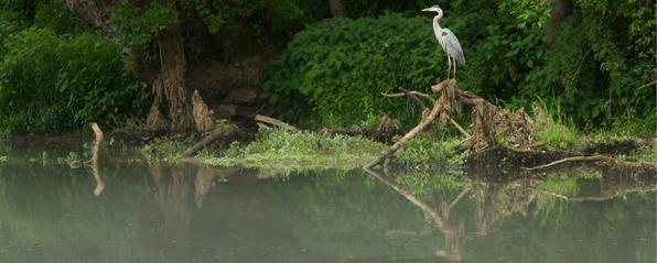 heron by water